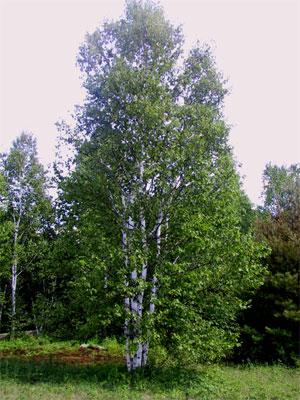Creaf l herbier matawin bouleau for Arbre qui pousse rapidement